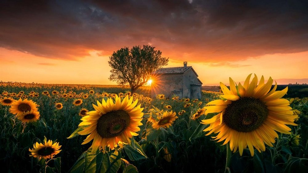 sunflowers premium 4k theme for windows 10
