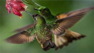 National Geographic Hummingbirds